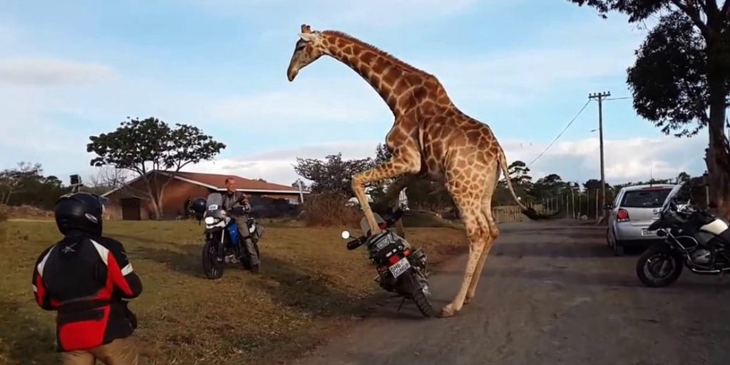 Giraffe and Motorcycle